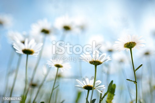 Spring meadow with golden daisies. View from below.