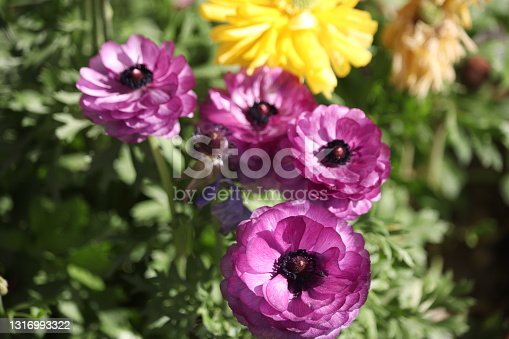 Flowers of different colors of the same plant.