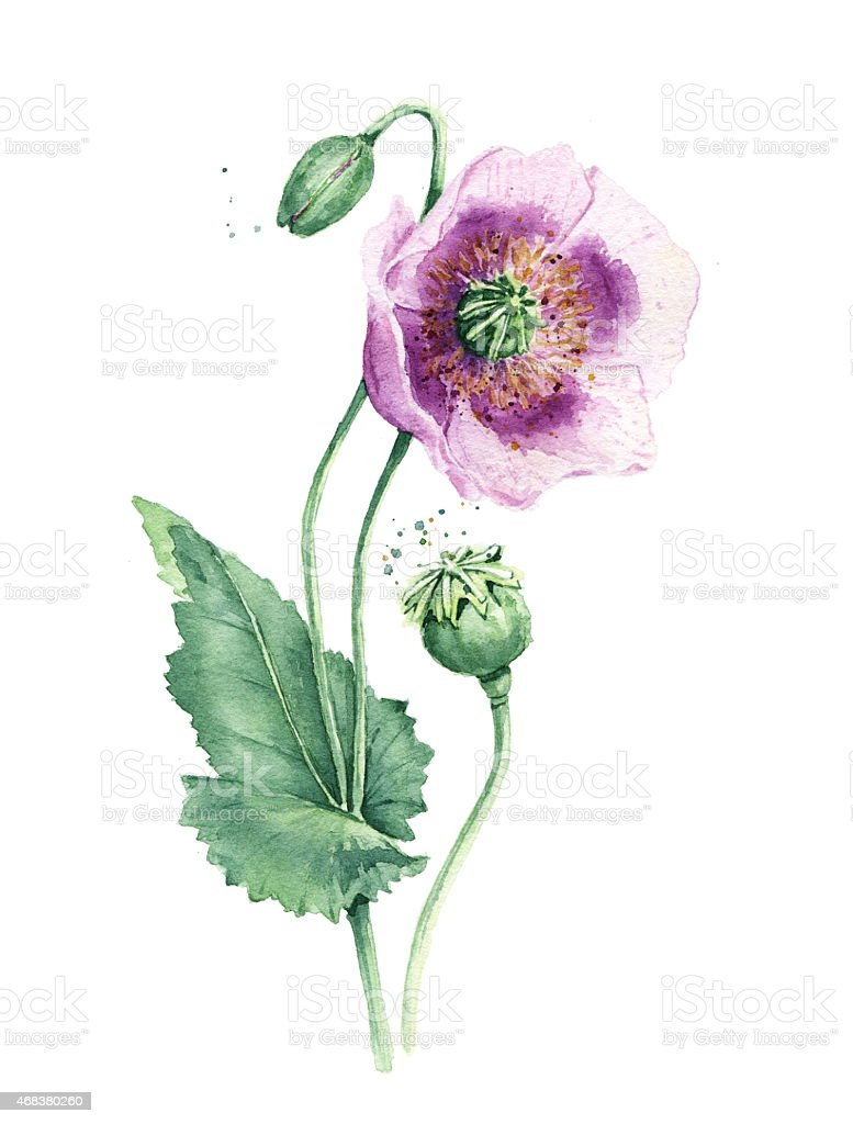Spring flowers poppy painting watercolor stock photo