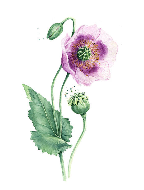 spring flowers poppy painting watercolor - botany stock pictures, royalty-free photos & images