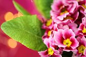 Spring flowers. Primrose flower.Primrose pink with green leaves closeup on bright fuchsia with golden bokeh background.Bright floral pink background.