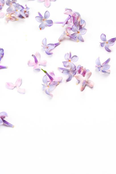 봄 꽃입니다. 보라색 라일락 꽃 꽃잎 흰색 바탕에. 평면도, 평 신도, 복사 공간 - 히아신스 뉴스 사진 이미지