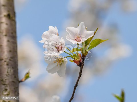 516844696 istock photo Spring flowers series, beautiful cherry blossoms. 516822278