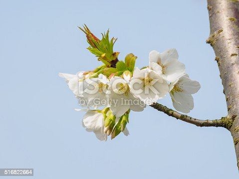 516844696 istock photo Spring flowers series, beautiful cherry blossoms. 516822664