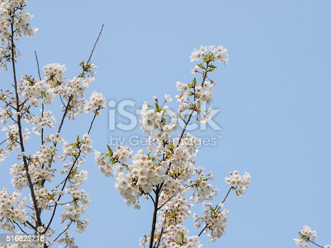 516844696 istock photo Spring flowers series, beautiful cherry blossoms. 516822718