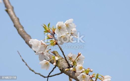 516844696istockphoto Spring flowers series, beautiful cherry blossoms. 516823118