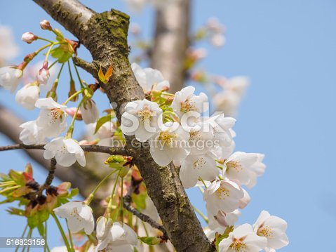 516844696 istock photo Spring flowers series, beautiful cherry blossoms. 516823158