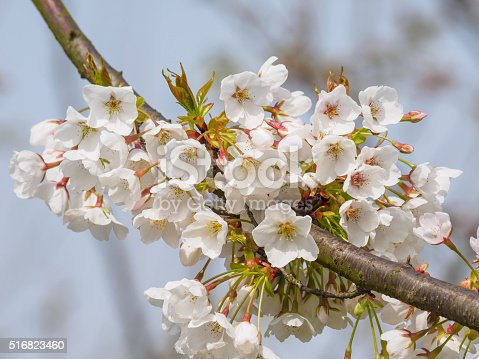 516844696istockphoto Spring flowers series, beautiful cherry blossoms. 516823460