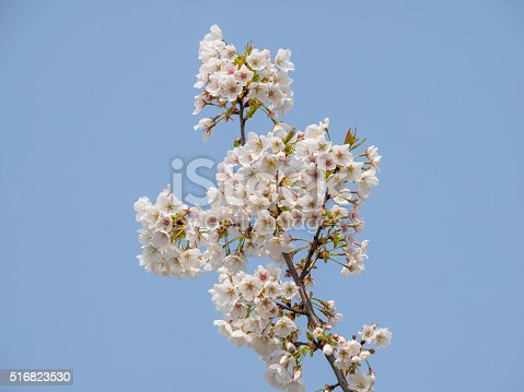 516844696 istock photo Spring flowers series, beautiful cherry blossoms. 516823530