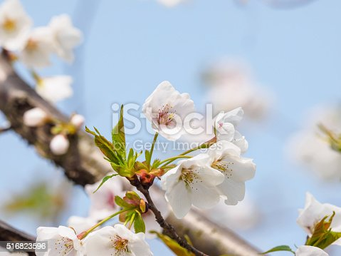 516844696 istock photo Spring flowers series, beautiful cherry blossoms. 516823596