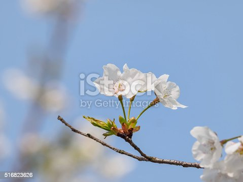 516844696 istock photo Spring flowers series, beautiful cherry blossoms. 516823626