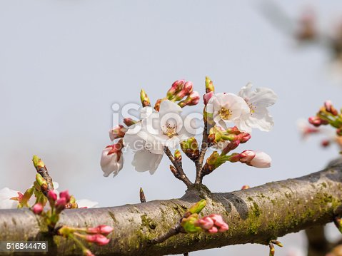 516844696 istock photo Spring flowers series, beautiful cherry blossoms. 516844476