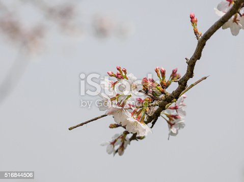 516844696 istock photo Spring flowers series, beautiful cherry blossoms. 516844506
