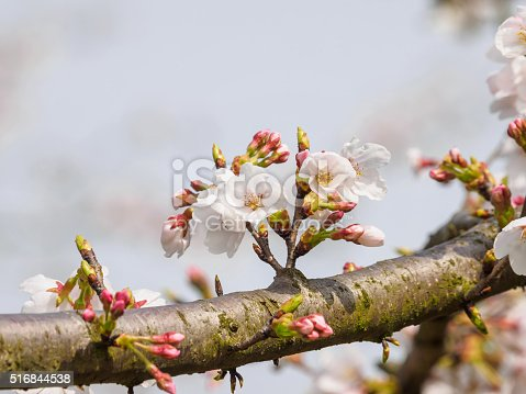 516844696 istock photo Spring flowers series, beautiful cherry blossoms. 516844538