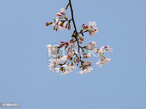 516844696 istock photo Spring flowers series, beautiful cherry blossoms. 516844572