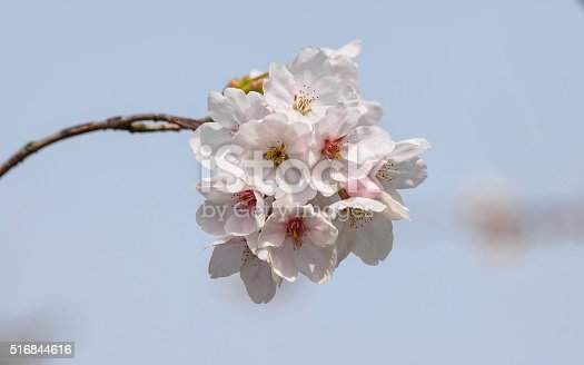 516844696 istock photo Spring flowers series, beautiful cherry blossoms. 516844616