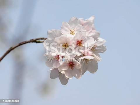 516844696 istock photo Spring flowers series, beautiful cherry blossoms. 516844650