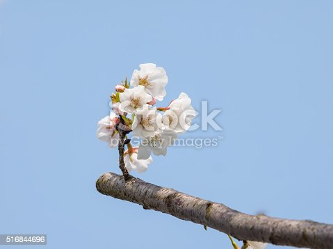 516844696 istock photo Spring flowers series, beautiful cherry blossoms. 516844696