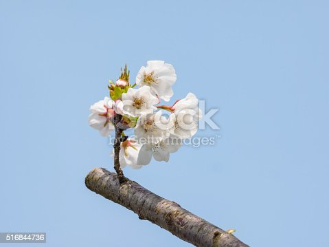 516844696 istock photo Spring flowers series, beautiful cherry blossoms. 516844736