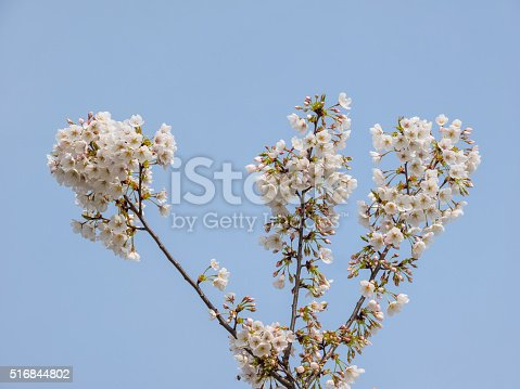 516844696 istock photo Spring flowers series, beautiful cherry blossoms. 516844802