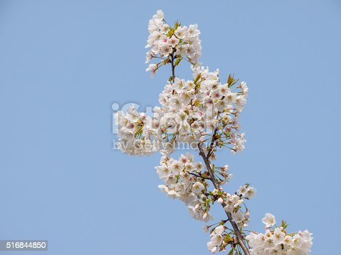 516844696 istock photo Spring flowers series, beautiful cherry blossoms. 516844850