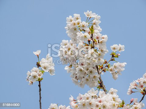 516844696 istock photo Spring flowers series, beautiful cherry blossoms. 516844900
