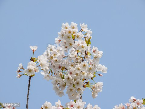 516844696 istock photo Spring flowers series, beautiful cherry blossoms. 516844940