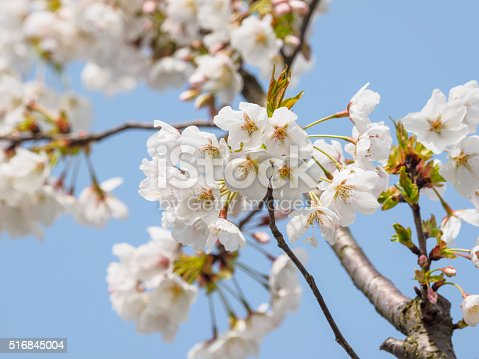 516844696 istock photo Spring flowers series, beautiful cherry blossoms. 516845004