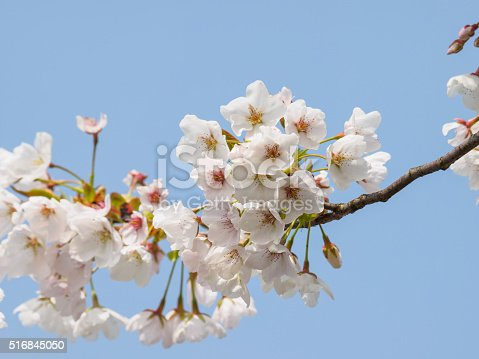 516844696 istock photo Spring flowers series, beautiful cherry blossoms. 516845050