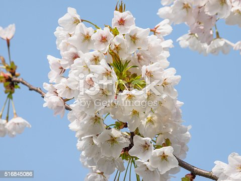 516844696 istock photo Spring flowers series, beautiful cherry blossoms. 516845086