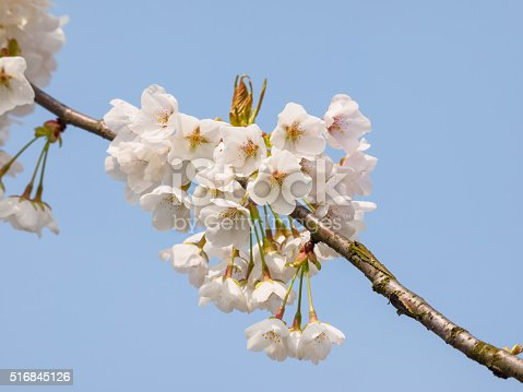 516844696 istock photo Spring flowers series, beautiful cherry blossoms. 516845126