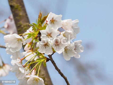 516844696 istock photo Spring flowers series, beautiful cherry blossoms. 516845216