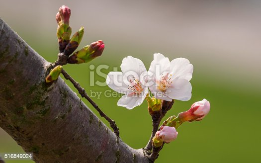 516844696 istock photo Spring flowers series, beautiful cherry blossoms. 516849024