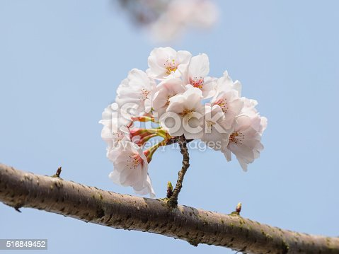 516844696 istock photo Spring flowers series, beautiful cherry blossoms. 516849452