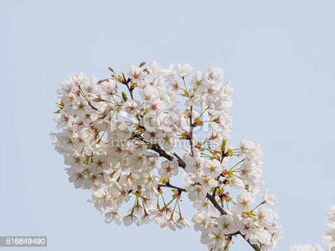 516844696 istock photo Spring flowers series, beautiful cherry blossoms. 516849490