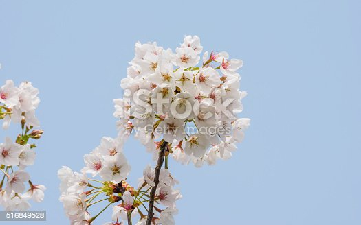516844696 istock photo Spring flowers series, beautiful cherry blossoms. 516849528