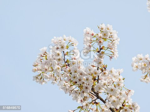 516844696 istock photo Spring flowers series, beautiful cherry blossoms. 516849570