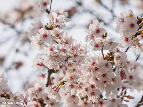 istock Spring flowers series, beautiful cherry blossoms. 517007340