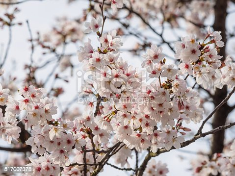 istock Spring flowers series, beautiful cherry blossoms. 517007378