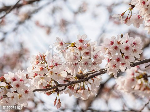 istock Spring flowers series, beautiful cherry blossoms. 517007410