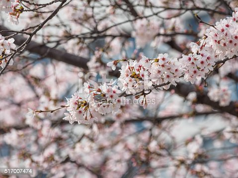 istock Spring flowers series, beautiful cherry blossoms. 517007474
