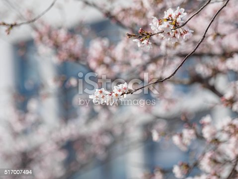 istock Spring flowers series, beautiful cherry blossoms. 517007494