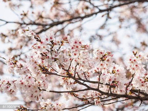 istock Spring flowers series, beautiful cherry blossoms. 517007614