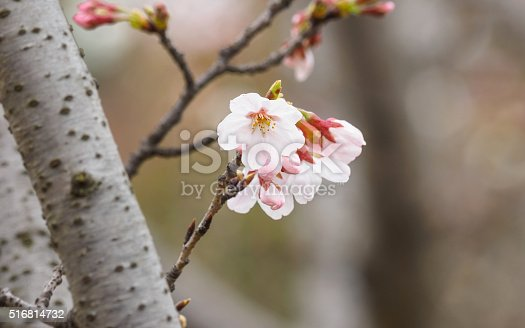 istock Spring flowers series, beautiful pink cherry blossoms. 516814732