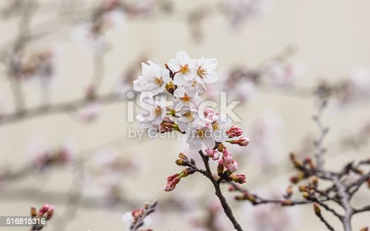 istock Spring flowers series, beautiful pink cherry blossoms. 516815316