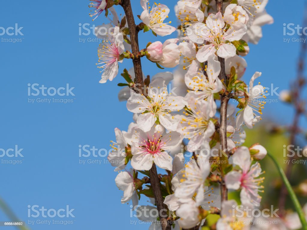 Spring Flowers Series Beautiful Pink Flowers Of Japanese Bush Cherry