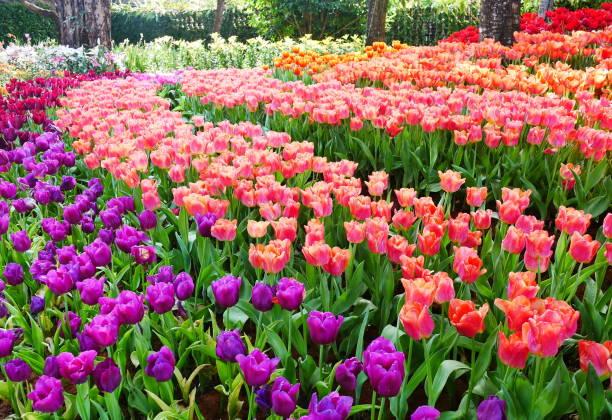 Spring flowers series beautiful tulips in tulip field picture id1092514594?b=1&k=6&m=1092514594&s=612x612&w=0&h=5rxbytoptix60f3a3v95uncmsywjrqj muub4nut4z8=