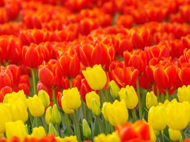spring flowers series, beautiful tulips in tulip field with blur foreground and background. - tulipany zdjęcia i obrazy z banku zdjęć