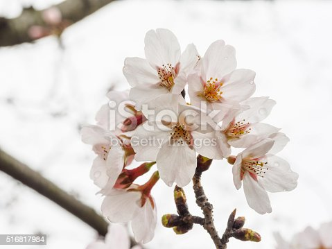 istock Spring flowers series, beautiful white cherry blossoms. 516817984