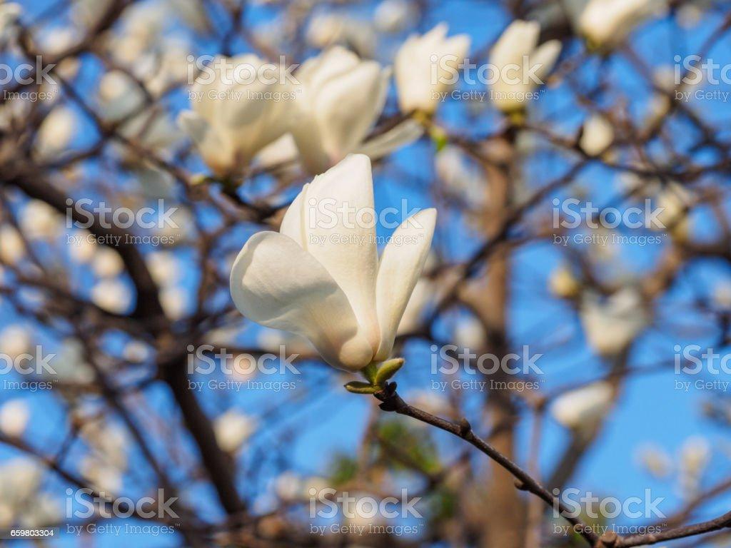 Spring flowers series, White Magnolia flower, Magnolia denudata is the city flower of Shanghai. stock photo